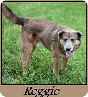 Shar Pei Mix Dog for adoption in Sullivan, Indiana - Reggie