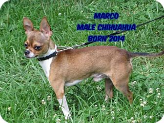 Chihuahua Dog for adoption in Huddleston, Virginia - Marco