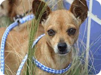 Chihuahua Mix Dog for adoption in Austin, Texas - Macy