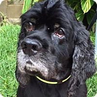 Cocker Spaniel Dog for adoption in Sugarland, Texas - Rags