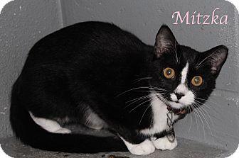Domestic Shorthair Cat for adoption in Bradenton, Florida - Mitzka