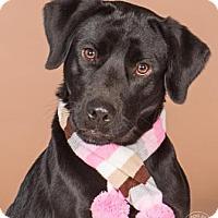 Adopt A Pet :: Willa - Northbrook, IL