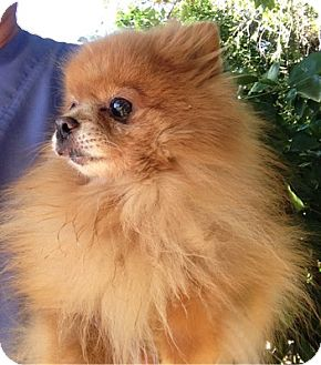 Pomeranian Dog for adoption in Temecula, California - Starbuck