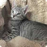 Domestic Shorthair Cat for adoption in Calimesa, California - Stripes