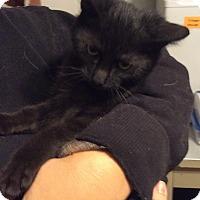 Adopt A Pet :: Shaw - Mt Pleasant, PA