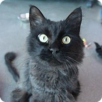 Adopt A Pet :: Optimus - Littleton, CO