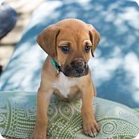 Adopt A Pet :: Belle - Austin, TX