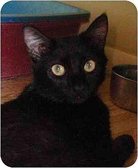 Domestic Shorthair Cat for adoption in Palm City, Florida - Scarlett