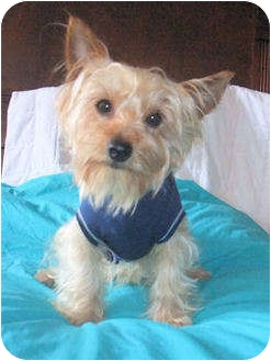 Yorkie, Yorkshire Terrier Dog for adoption in Mooy, Alabama - Jasper