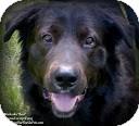 Bernese Mountain Dog/Retriever (Unknown Type) Mix Dog for adoption in Eustis, Florida - Mack (aka Bear)