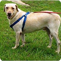 Labrador Retriever Mix Dog for adoption in Graceville, Florida - Riley II