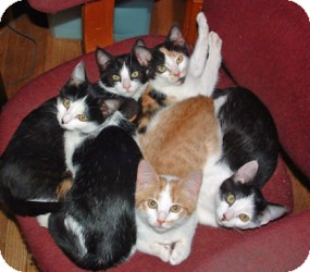 Domestic Shorthair Kitten for adoption in Colmar, Pennsylvania - We have kittens