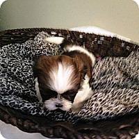 Adopt A Pet :: Foxtrot - Winchester, VA