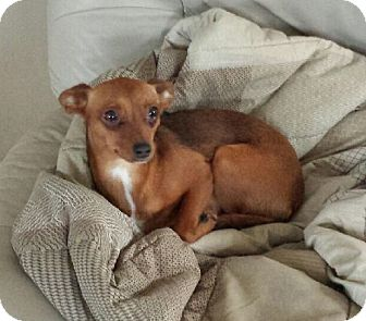 Italian Greyhound/Chihuahua Mix Dog for adoption in Naples ...
