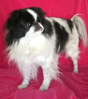 Japanese Chin Dog for adoption in Aurora, Colorado - Masaki