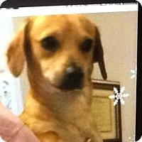 Adopt A Pet :: Boo bear - springtown, TX