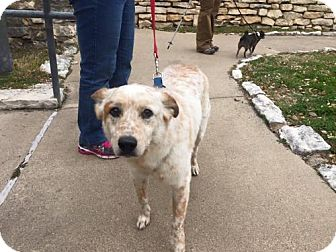 Australian Cattle Dog Mix Dog for adoption in Clifton, Texas - Duff
