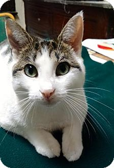 Domestic Shorthair Cat for adoption in Jersey City, New Jersey - Flora