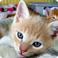 Adopt A Pet :: Marshmallow - Island Park, NY