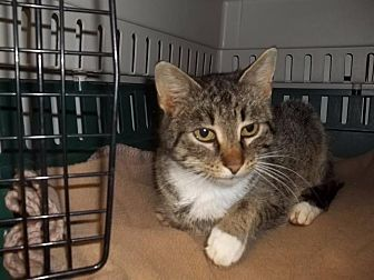 Domestic Shorthair Cat for adoption in Newaygo, Michigan - HAZELNUT