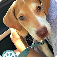 Adopt A Pet :: Mic - Kimberton, PA