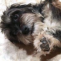 Adopt A Pet :: Tyson - Renton, WA