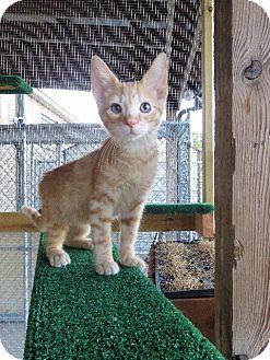 American Shorthair Kitten for adoption in Van Wert, Ohio - Nemo