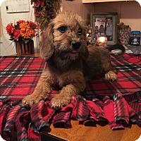 Schnauzer (Miniature)/Dachshund Mix Puppy for adoption in Glastonbury, Connecticut - Aden