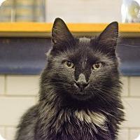 Burmese Cat for adoption in New York, New York - Sylvester