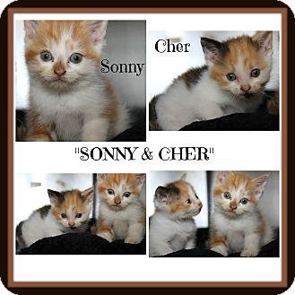 Domestic Shorthair Kitten for adoption in Marietta, Ohio - Sonny & Cher