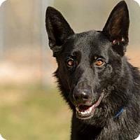 Adopt A Pet :: Onyx - Colorado Springs, CO