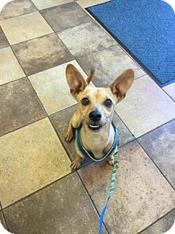 Chihuahua Dog for adoption in Mission, Kansas - August