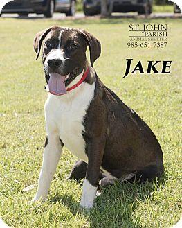 Boxer/Labrador Retriever Mix Dog for adoption in Laplace, Louisiana - Jake