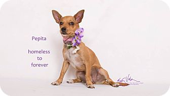 Chihuahua/Terrier (Unknown Type, Small) Mix Dog for adoption in Sherman Oaks, California - Pepita