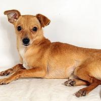 Adopt A Pet :: Gizmo Chi - St. Louis, MO