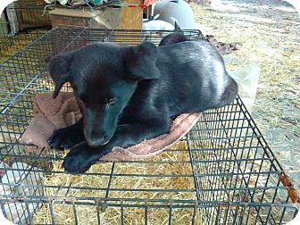 Labrador Retriever Mix Puppy for adoption in Manchester, Connecticut - Jasper-pending adoption