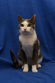 Domestic Shorthair Cat for adoption in Sanford, Florida - Sprinkles