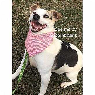 Rat Terrier Mix Dog for adoption in Green Bay, Wisconsin - Luke