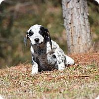Adopt A Pet :: Blitz - Groton, MA