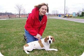 Beagle/English Bulldog Mix Dog for adoption in Elyria, Ohio - Lucy