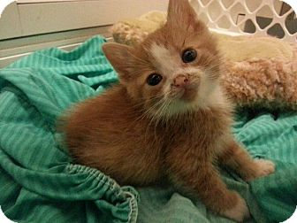 Domestic Shorthair Kitten for adoption in Chicago, Illinois - Frank