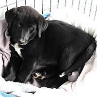 Adopt A Pet :: Willow - Woodland, CA