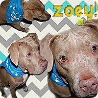 Adopt A Pet :: zoey - hollywood, FL
