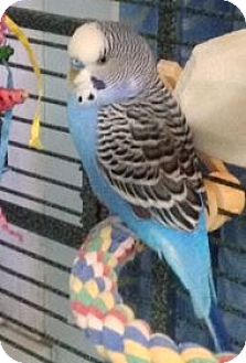 Budgie for adoption in Tampa, Florida - Poppy