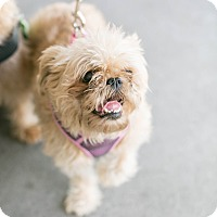 Brussels Griffon Dog for adoption in Los Angeles, California - Izzy