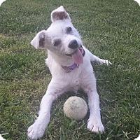 Adopt A Pet :: Little Bit - Allentown, PA