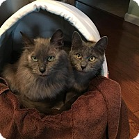Russian Blue Cat for adoption in Jersey City, New Jersey - Lola