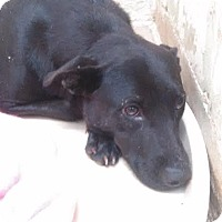 Labrador Retriever Mix Dog for adoption in Darlington, South Carolina - Nora