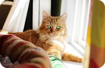Domestic Longhair Cat for adoption in Markham, Ontario - Rascal
