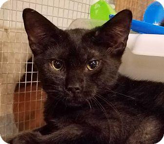 Domestic Shorthair Kitten for adoption in Trevose, Pennsylvania - Audra